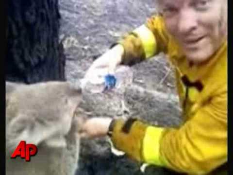 Koala z australijskich lasów