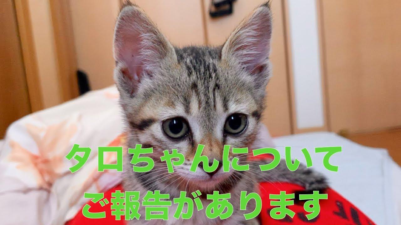 【保護子猫】保護子猫タロちゃんについて報告があります。
