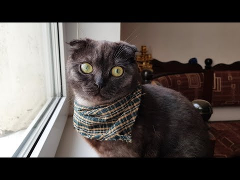 Вислоухие шотландские кошки - мимишность или генетическая патология? | Болезнь вислоухих кошек
