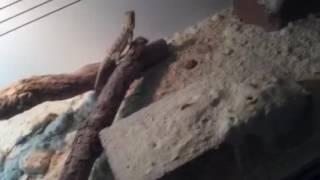Pygmy Bearded Dragon care