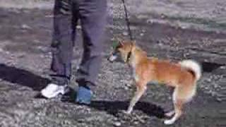日本犬保存会千葉展