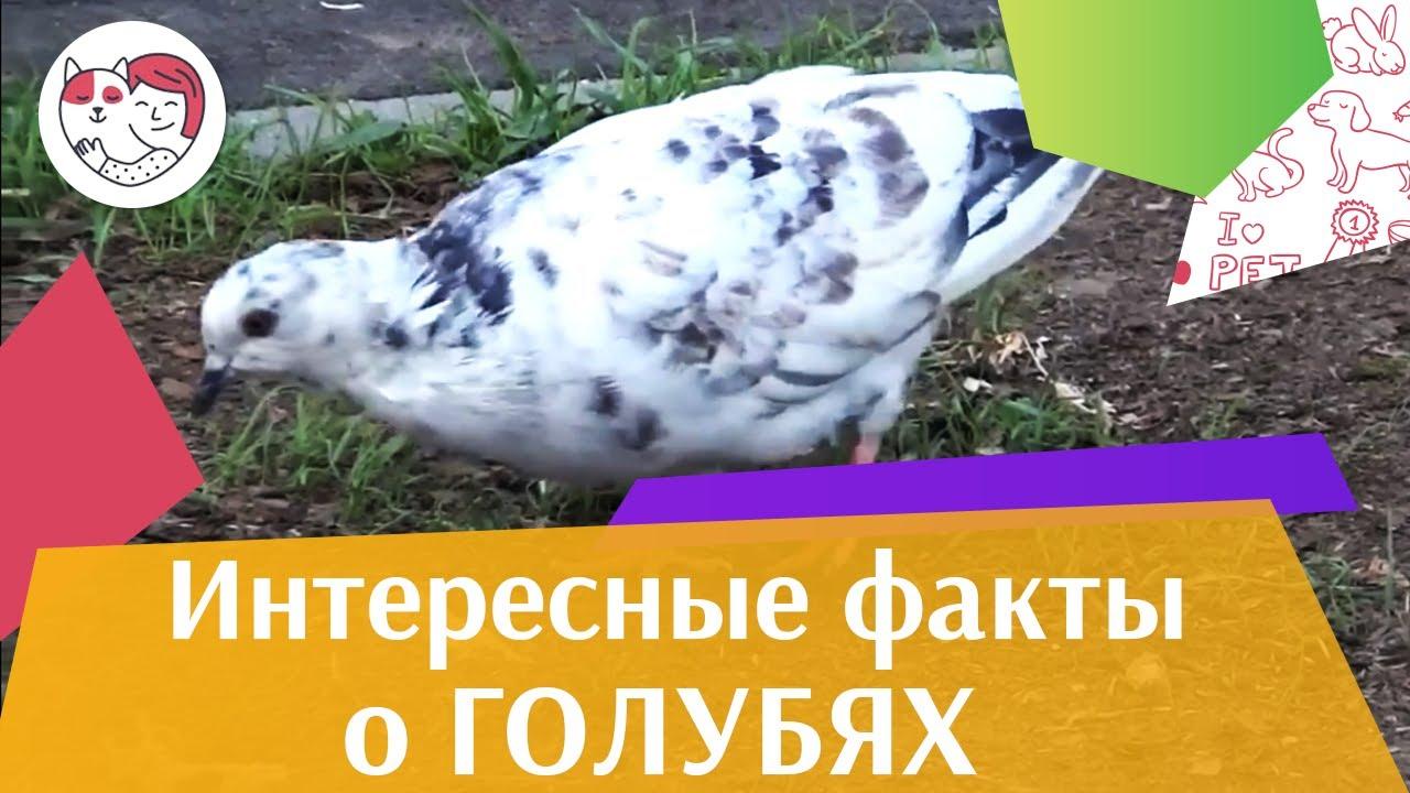 4 самых распространенных мифа о голубях на ilikepet