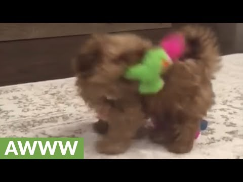 Shih tzu puppy plays in circles with squeaky toy