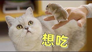 仓鼠和猫一起搬新家,主人特意购置豪华别墅,猫:再也吃不到了!