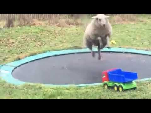 When Sheep Meets Trampoline Hilarity Happens!