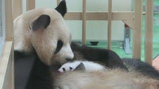 赤ちゃんパンダ公開始まる母親良浜も、和歌山・白浜