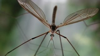 Bug That Eats Aphids: Crane Fly