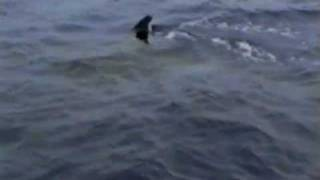 preview picture of video 'Killer Whales at Walindi Resort, Kimbe Bay, Papua New Guinea (1998)'