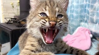 CATS AND LYNX KITTEN FIGHTING / Bobcat Luna bathes in milk