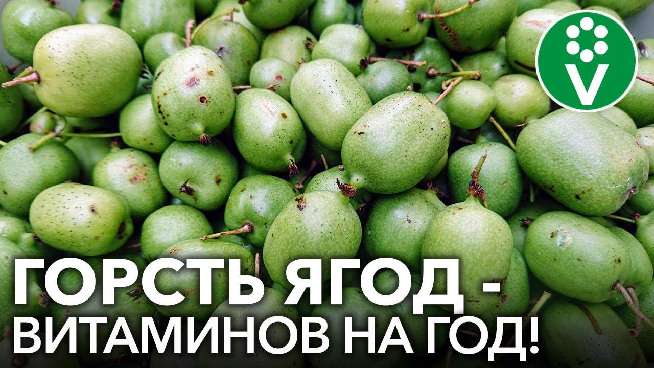 АКТИНИДИЯ КОЛОМИКТА - ягода со вкусом киви и ананаса в саду