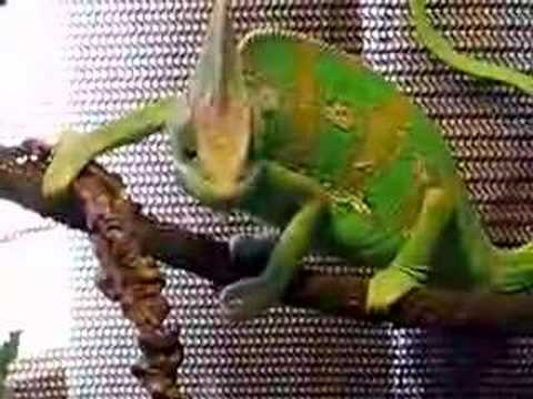 Chameleon Pi Desert Of Lost Distractions