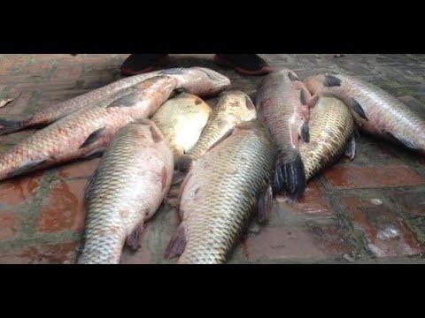 Hướng dẫn làm mồi câu cá Trắm đen, cá Chép, cá Trắm cỏ (Câu lục)