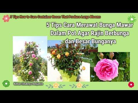 Download 96 Koleksi Gambar Bunga Mawar Video Gratis Terbaik