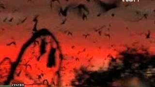 Zorro volador, el mayor murciélago