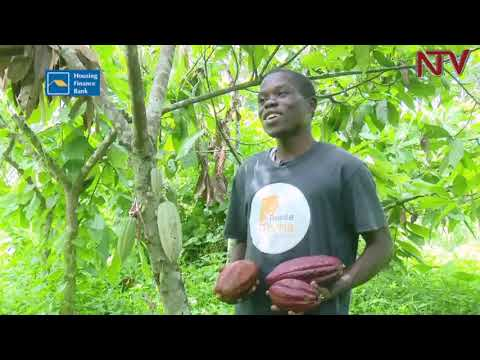 How to increase Cocoa production in Uganda