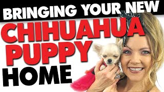 Bringing home a new Chihuahua puppy - NOW WHAT? | Sweetie Pie Pets by Kelly Swift