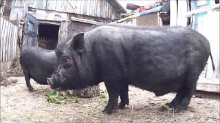 вьетнамские свиньи  на откорм, чем кормлю