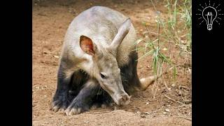 Aardvark Facts