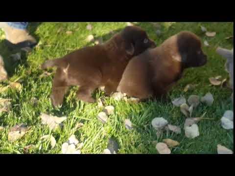 Chocolate Female puppy