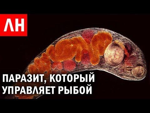 Blastocystis hominis лямблии