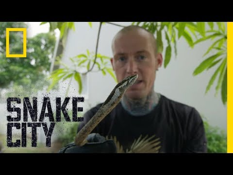 Vine Snake Up a Tree | Snake City