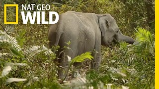 The Complicated Relationship Between Humans and Elephants   Nat Geo WILD