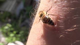 Do Honeybees Really Die When They Sting HD
