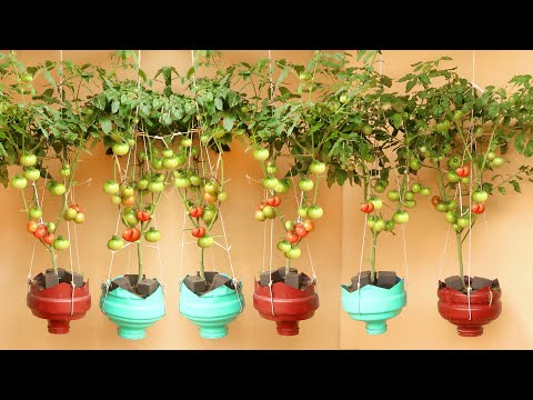 Amazing Hanging Garden, How to grow Tomato at home has a lot of fruit
