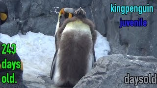 【daysold】キングペンギン243日齢 kingpenguin 243days old.