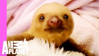 Baby Sloths Get Swaddled   Too Cute