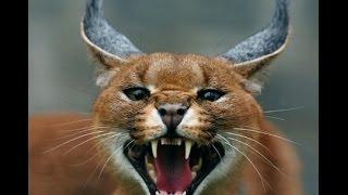 7 Jenis Kucing Paling Langka di Dunia