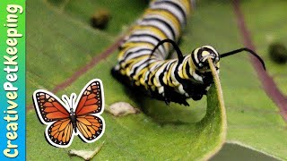 How to raise a caterpillar into a butterfly 🦋 SAVE THE MONARCHS
