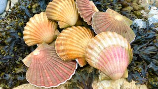 Coastal Foraging/Diving - Scallops, Lobsters, Crabs, Wrasse and more. Beach Cook up