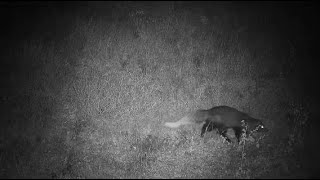 Djuma: White-tailed Mongoose ends up going in to den hole - 03:49 - 05/23/20