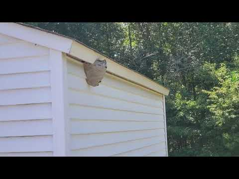 Bald-Faced Hornets Hanging on Side of a Shed in Tinton Falls, NJ