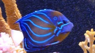 240 gallons saltwater aquarium - naso annularis blueface puffer