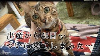 ベンガル猫ベルの出産から45日…恐れていた事が…