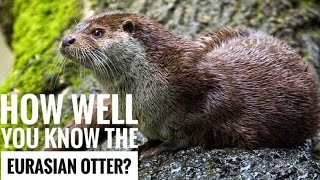 Eurasian Otter || Description, Characteristics and Facts!