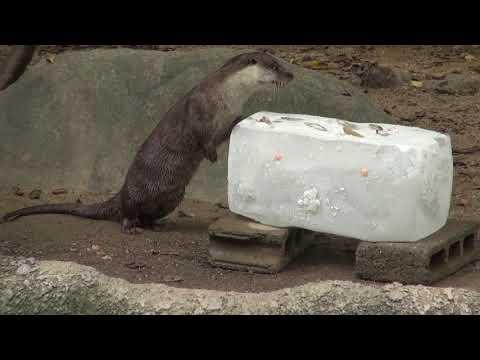 高知県立のいち動物公園 動物動物たちに氷のプレゼント!