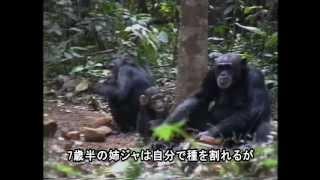 [日本語字幕版] Jokro: the Death of an Infant Chimpanzee -Japanese Subtitle Version