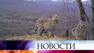 Дальневосточный леопард мечение отлов лесной кот ловля на курицу
