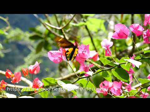 チトヌストリバネアゲハの♂の飛翔 Ornithoptera tithonus
