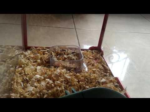 Video Cara memelihara anak hamster di rumah