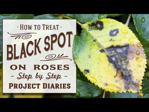 Video ★ How to: Treat Black Spot on Roses (A Complete Step by Step Guide)