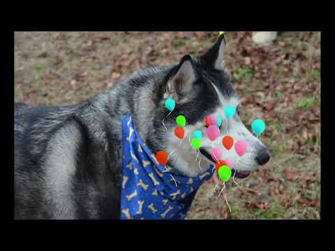 ZEUS, an adopted Siberian Husky & Husky Mix in Hubbardston, MA_image-1