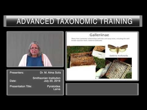 Introduction to Lepidoptera - overview of Pyraloidea larvae