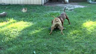 Loc and Lola Playing/Fight  (HMONG PITBULL)