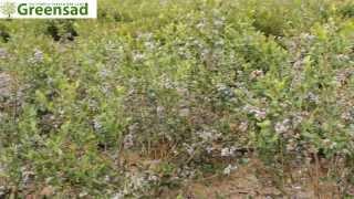"Голубика ""Блюкроп"" - видео-обзор от Greensad"