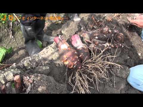 種とり人41「在来種海老芋の収穫 栽培 岡本洋子さん」(姫路市)jiotv