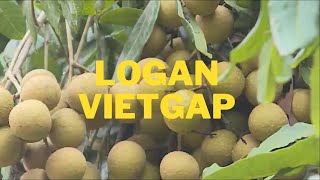 Applying the care process, science and technology, helping longan achieve high quality productivity